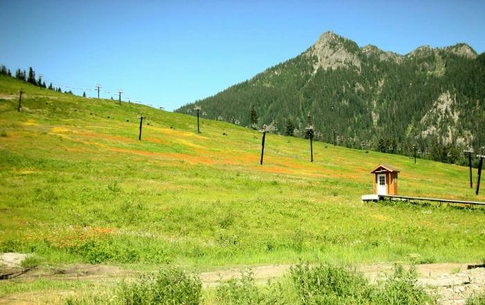 Snoq-Pass-Ski-Hawkweed-July2009-cropped.jpg