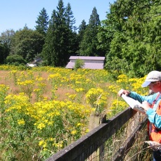 worker looking at a field of tansy ragwort