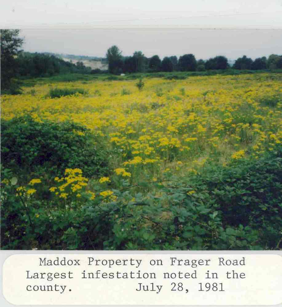 1981 photo of a large infestation of tansy ragwort in King County