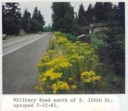 Photo from 1981 of tansy ragwort along Military Road south of Seattle