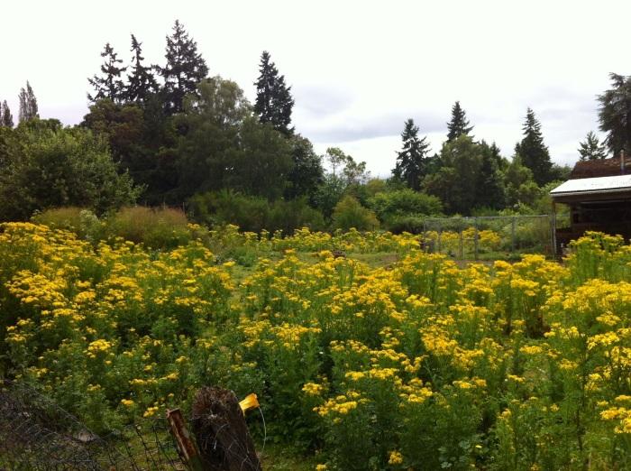 tansy-ragwort-pasture-MKW072412