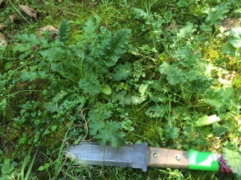 young tansy ragwort plants next to a hori hori