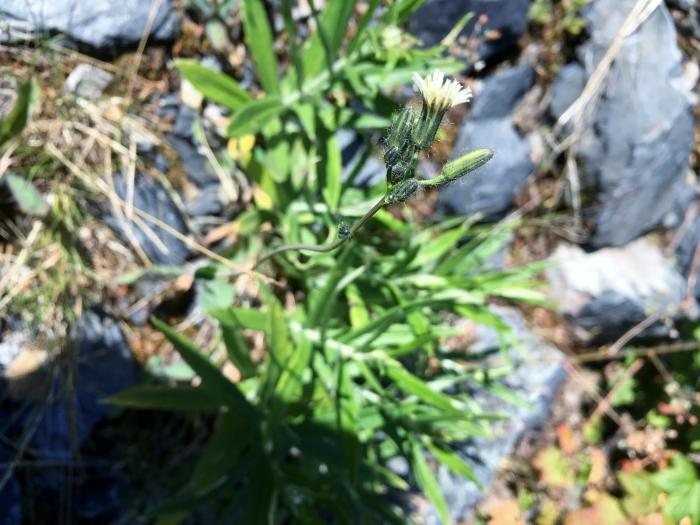 white hawkweed (Hieracium albiflorum)_alpental_7.12.17_1.JPG