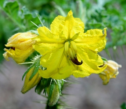 Buffalobur's bright yellow flowers with 5 petals that join at the base.
