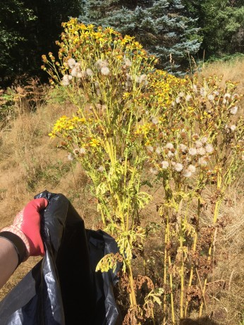 tansy ragwort with flowers and seeds shown with a garbage bag