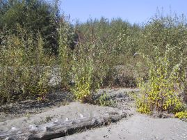 butterfly bush plants growing on a river sand bar