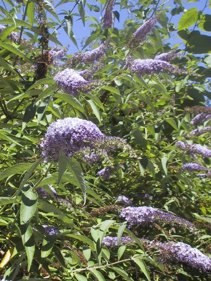 butterfly bush flowers and seeds