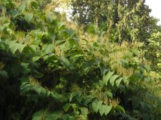 Stand of Bohemian knotweed in the fall