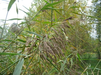 phragmites flowers and leaves