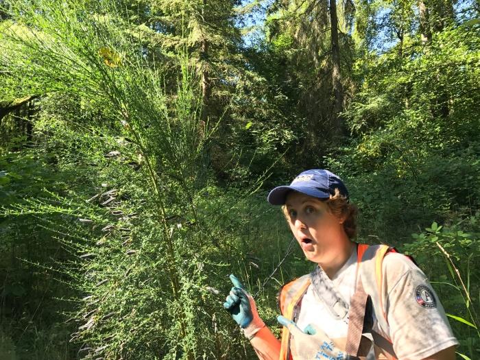 Scotch broom in Swamp Creek wetland, photo by Cynthia Saleh
