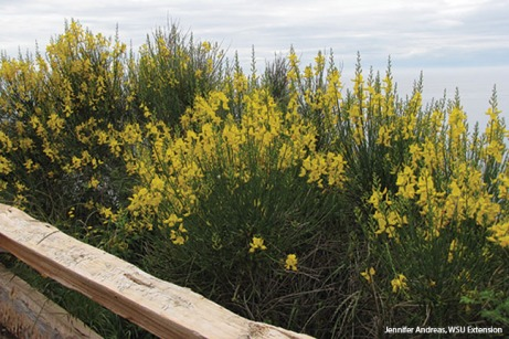 Spanish broom plants in flower by fence