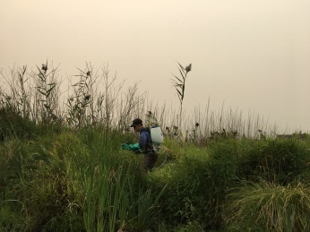 spraying phragmites against a smoke-filled sky