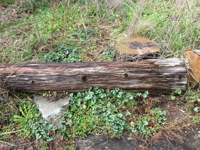 Log with young garlic mustard plants growing along both sides.