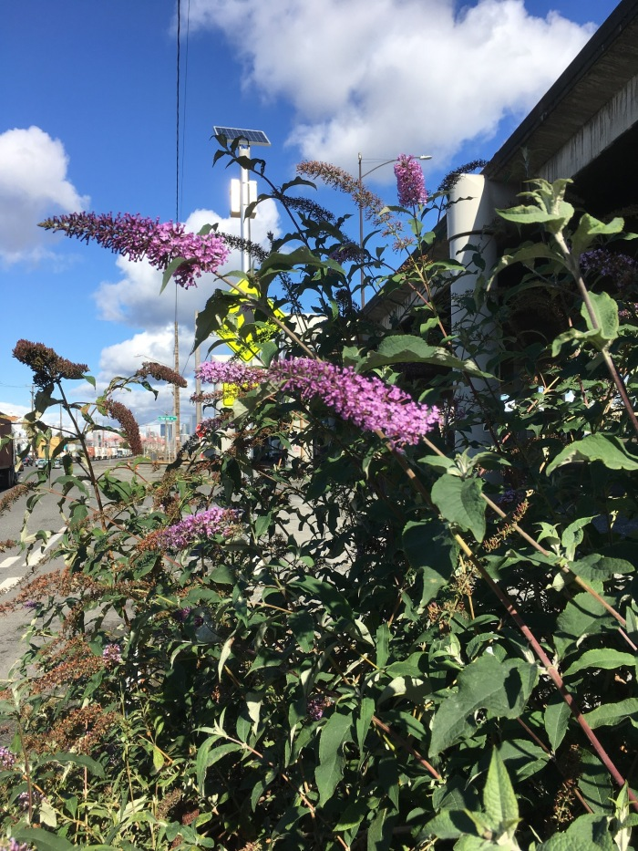Butterfly bush plant growing on Alaskan Way in Seattle, Washington. Flowers are just fading and seeds starting to form