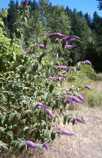Butterfly bush on the Cedar River in full flower.