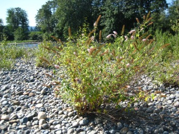 butterfly bush growing on Snoqualmie River gravel bar