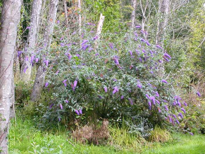 butterfly-bush-woods-ThurstonCo