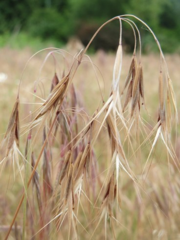 Cheatgrass inflorescence, dry. Photo by Andreas Rockstein / CC BY 2.0.