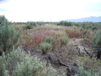 Cheatgrass patch in sagebrush steppe. Photo by Matt Lavin / CC BY 2.0.