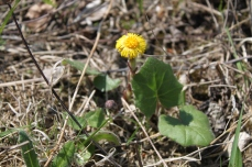 European coltsfoot with leaves. Photo by Jann Kuusisaari / CC BY 2.0.