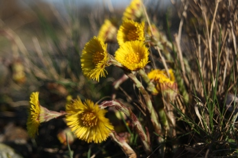 European coltsfoot flower heads. Photo by Blondinrikard Fröberg / CC BY 2.0.