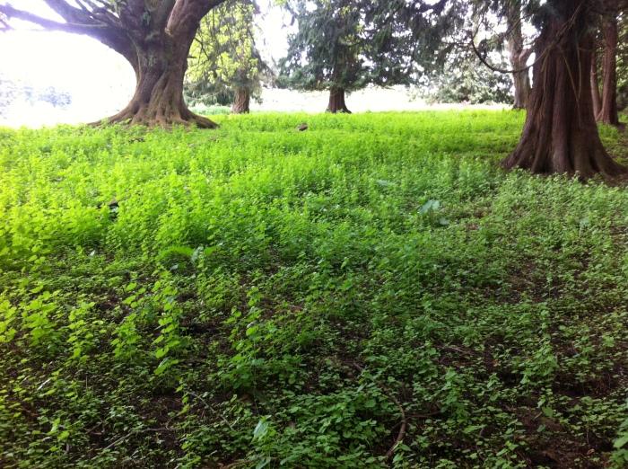 garlic-mustard-pasture-IslandCo_JanetStein050114