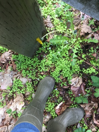 Rubber boots standing in patch of garlic mustard seedlings near a dandelion and a fence post.
