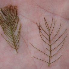 Eurasian watermilfoil (left) usually has more than 14 leaflet pairs per leaf, while northern watermilfoil (right) usually has fewer than 14 leaflet pairs per leaf.