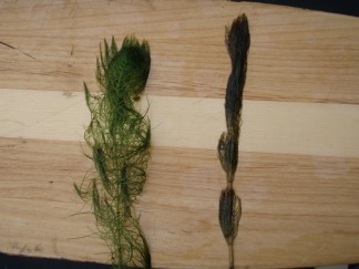 The native northern watermilfoil (left) tends to keep its shape out of water, while the invasive Eurasian watermilfoil (right) tends to collapse against its stem.