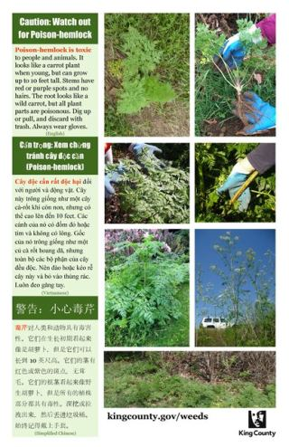 poison-hemlock-poster_english-vietnamese-simplified-chinese