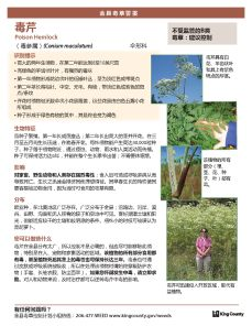 poison_hemlock_Chinese_Page_1