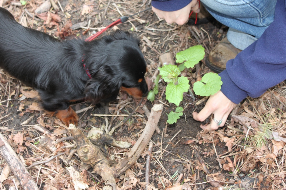 Dog sniffing at a garlic mustard plant being held by a someone.