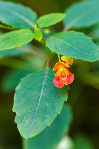 Spotted jewelweed leaf and flower. Photo by Melissa McMasters / CC BY 2.0.
