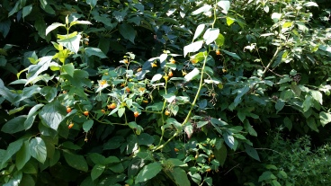 Spotted jewelweed patch. Photo by Wendy Cutler / CC BY 2.0.