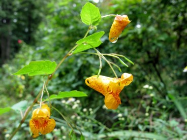 Spotted jewelweed flowers. Photo by Kristine Paulus / CC BY 2.0.