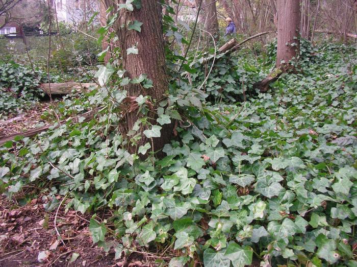 Ravenna-Park-Ivy
