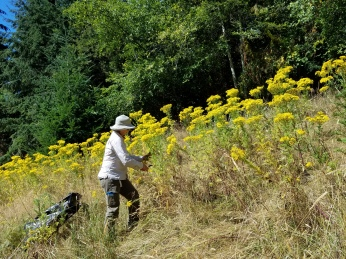 tansy ragwort in flower in a field with person cutting flowers off