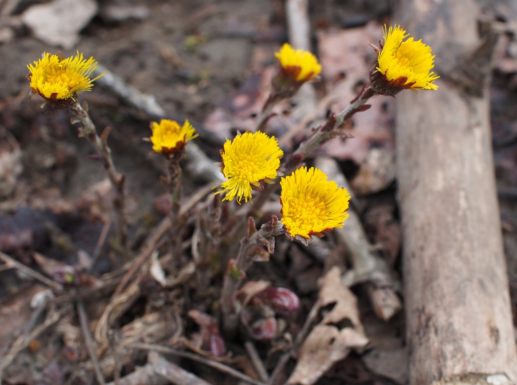 European coltsfoot (Tussilago farfara) flowers