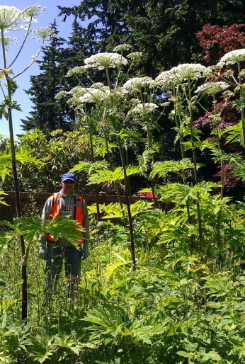 large giant hogweed plants next to a worker