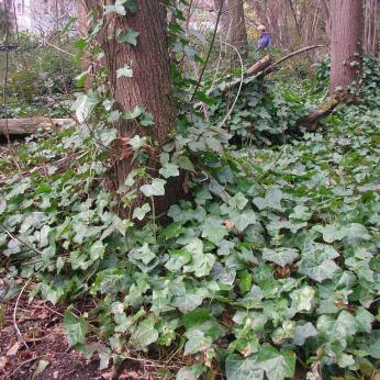 English ivy in a forest