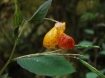 spotted jewelweed (Impatiens capensis) flower and seed capsules