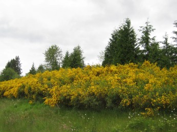 Scotch broom growing along a highway in a field