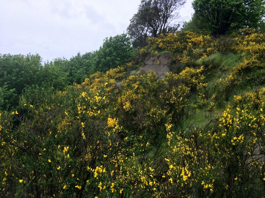Scotch broom infestation on a hillside