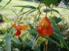 spotted jewelweed (Impatiens capensis) in flower