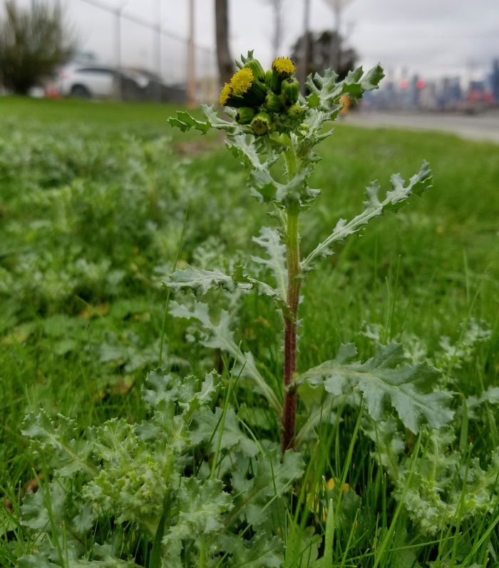 common groundsel plant in flower growing in grass