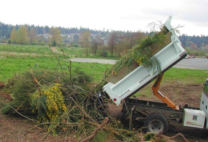 dump truck unloading Scotch broom plants
