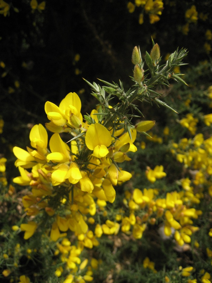 stem of gorse with flowers and spines