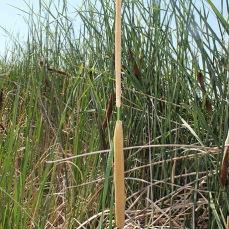 Narrowleaf cattail (Typha angustifolia)