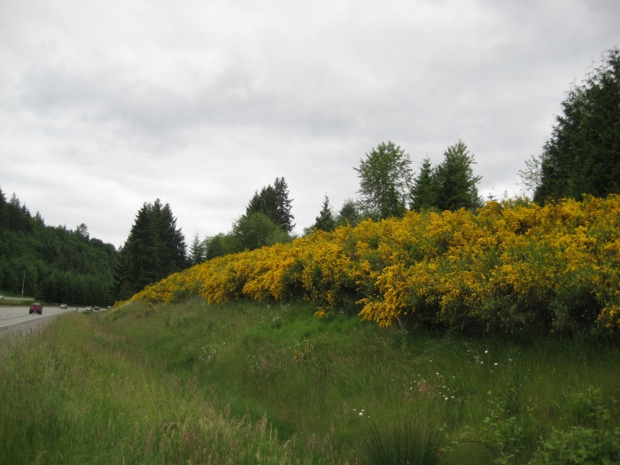 Scotch broom on a hillside by a highway