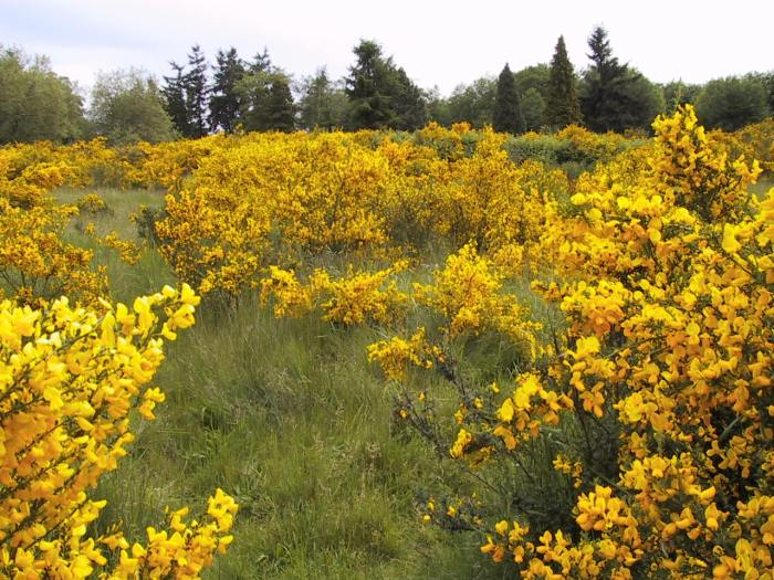 Scotch broom growing in a grass field